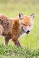 Red Fox by DominikaAniola