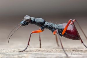 Tricondyla sp. flightless tiger beetle by melvynyeo