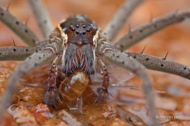 Fishing Spider by melvynyeo