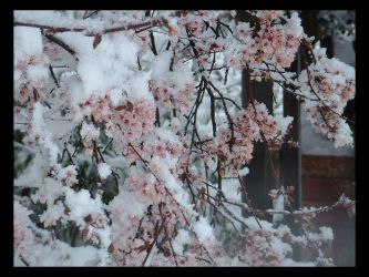 Frozen Cherry Blossoms by megaminokamo