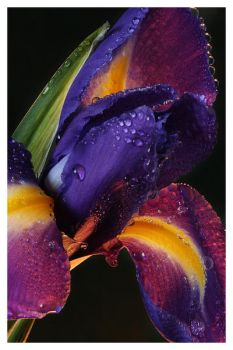 after rain iris by Floriandra