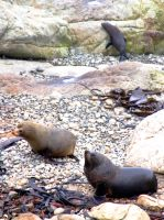 NZ- Oahu Point Seal Colony by EJSCreations