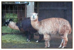 Llama Love in the Rain by TeaPhotography