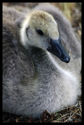 Young Goose Resting by Gyroid