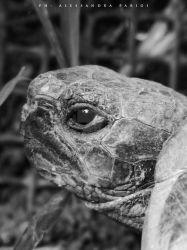 Old turtle by AlessandraPlasterpad
