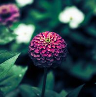 Zinnias by nprkr