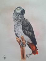 African Gray by vermilionbirdy