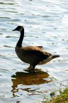 RP Geese II by LDFranklin