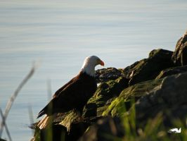 Eagle Sitting On Shore by wolfwings1