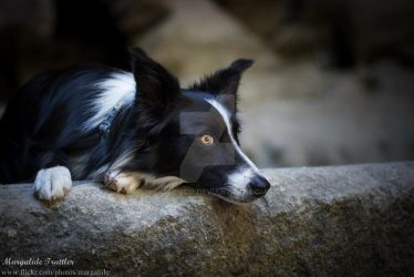 Border collie by Qualisco