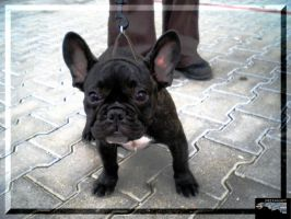 The french bulldog by ImperataLexinor
