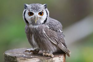 White faced Owl by SnowPoring