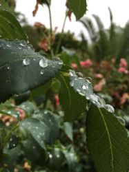 Rose Leaf Droplets 4 by Torrentially