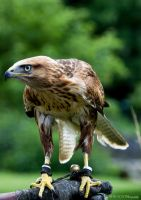 Buzzard_2 by PiTurianer
