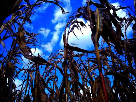 Where Cornstalks Touch The Sky by allee016