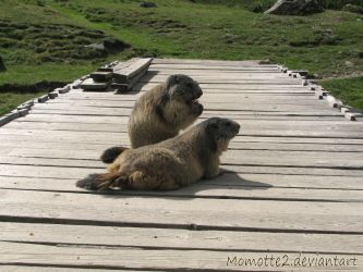Two marmots on a bridge by Momotte2