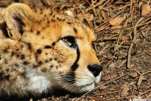 cheetah resting by LOmbre24
