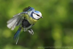 The little blue tit by javierherrera86