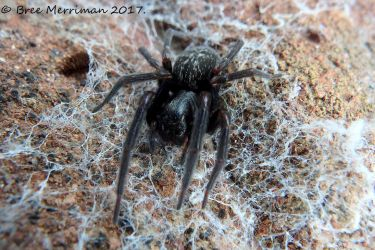 Black House Spider by BreeSpawn