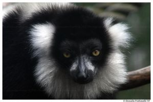Lemur by TVD-Photography