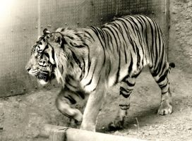 black and withe tiger by kitsune89