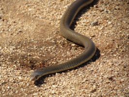 Devils Marbles - Angry Looking Brown Snake by TricoloreOne77