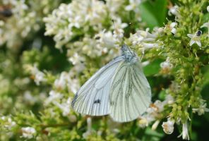 Green-veined White by moonhare77