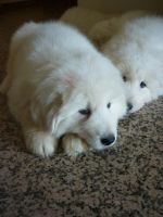 Maremma puppies 3 by AniuProserpina