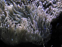Cologne Zoo Sea Anemones by Finnyanne