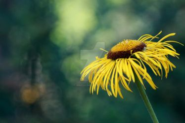 Doronicum by greatbelow2