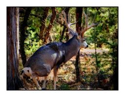 Deer in the forest...Grand Canyons 6 by gintautegitte69
