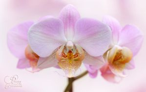 Orchid by PassionAndTheCamera