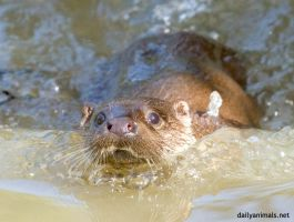 Otter in water by jaffa-tamarin