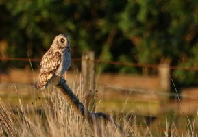 Short-eared Owl by NurturingNaturesGift