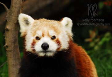 Red Panda by Shadow-and-Flame-86