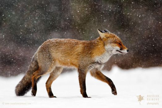 Cold as Ice - Red Fox in a Snow Blizzard by thrumyeye