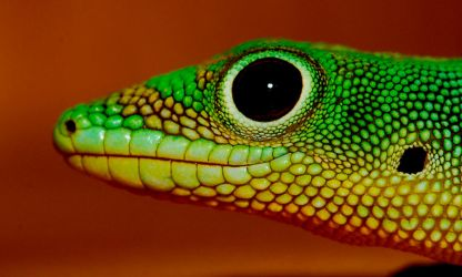 Green Gecko by thermalraven