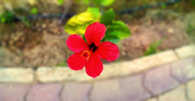Red Flower at the backyard by ahmed7