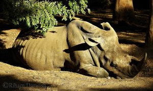 Rhino by Riham-Darwish