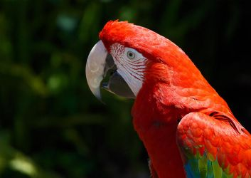 Green Winged Macaw by Elaihr