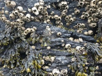 Barnacles by TangentExpress