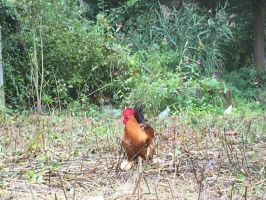 Rooster in Leuven by MissIzzy