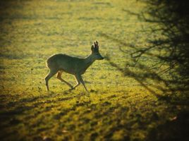 Young Roe Deer Buck by MoonKey19