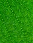 Leaf by tpphotography