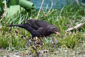 5432 Blackbird female by RealMantis