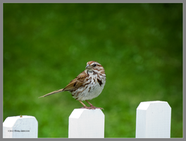 Sparrow on a fence by Mogrianne