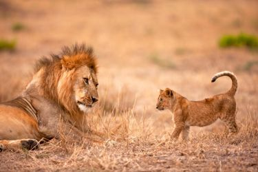 father and cub by catman-suha