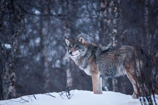 Wolf by amrodel