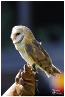 Barn Owl Tom by W0LLE