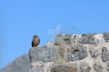 Owl in the castle of Myrina BIRD1 image. by LemnosExplorer